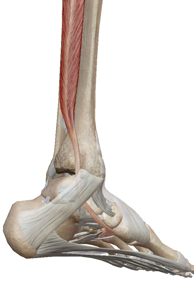 後脛骨筋とは