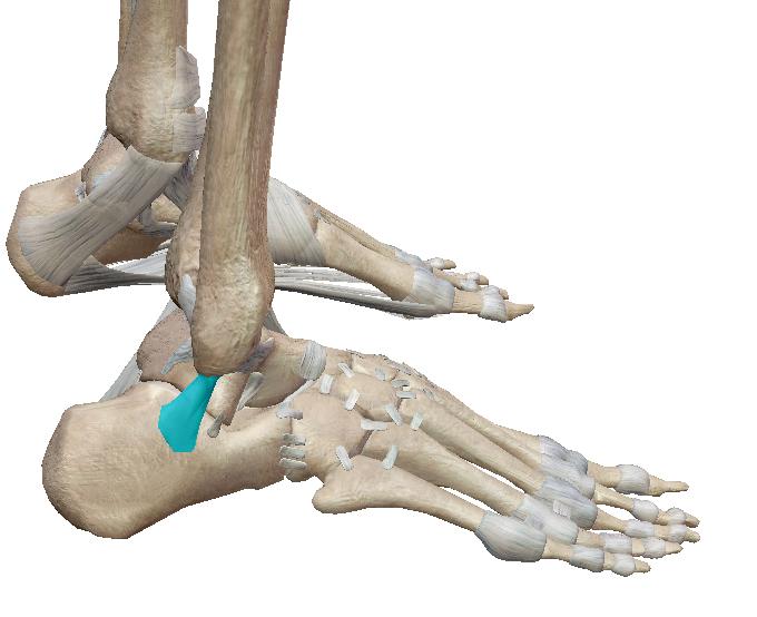 踵腓靭帯とは