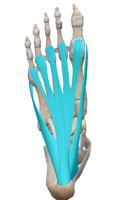 足底腱膜とは【金沢市のアルコット接骨院の疾患解説(足の裏の痛み)】