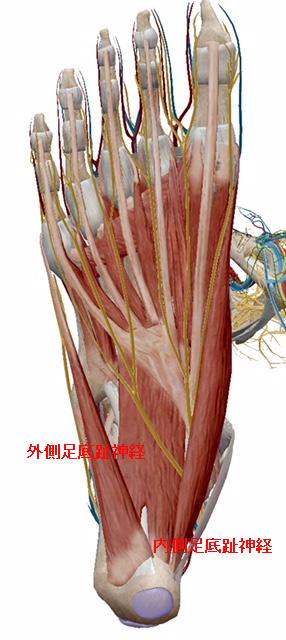 ジョガーズフット【金沢市のアルコット接骨院の疾患解説(足の裏の痛み)】