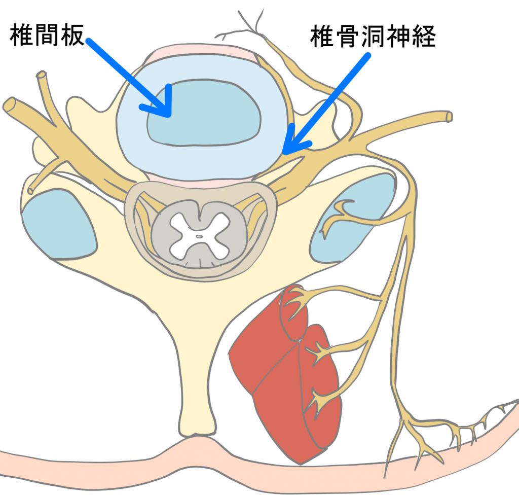 椎間板の神経支配