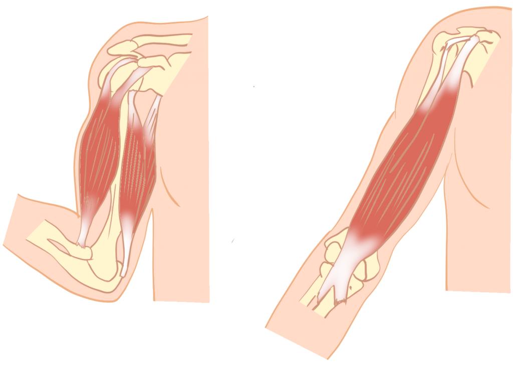 上腕二頭筋の解剖