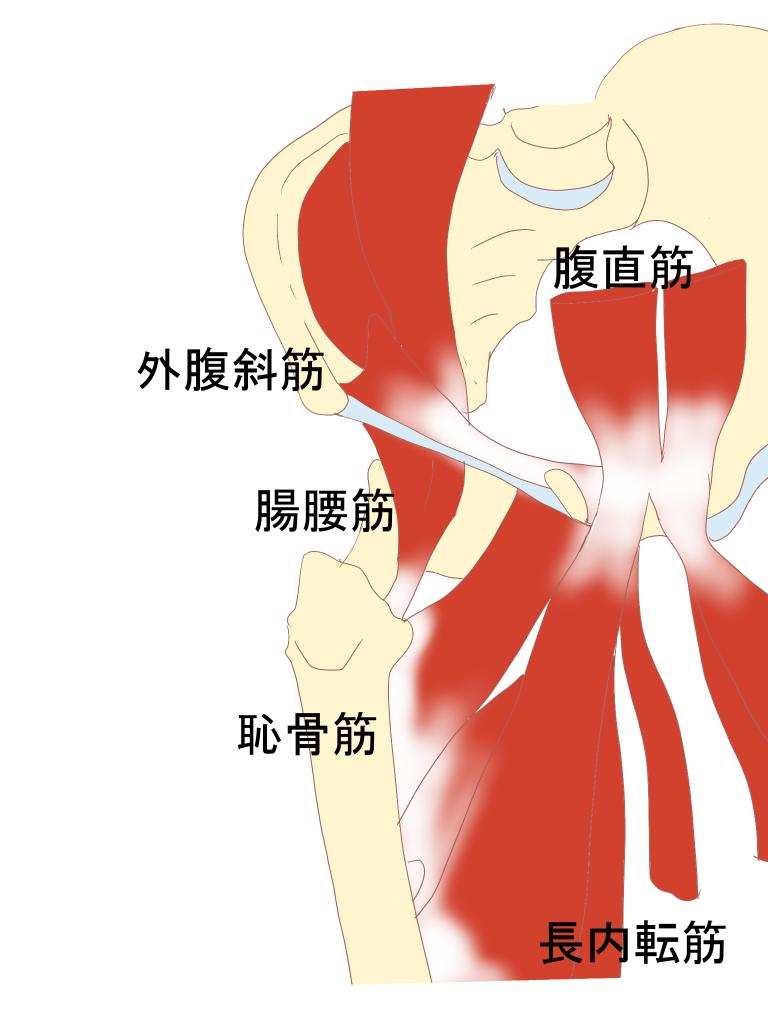 鼠径部の筋肉