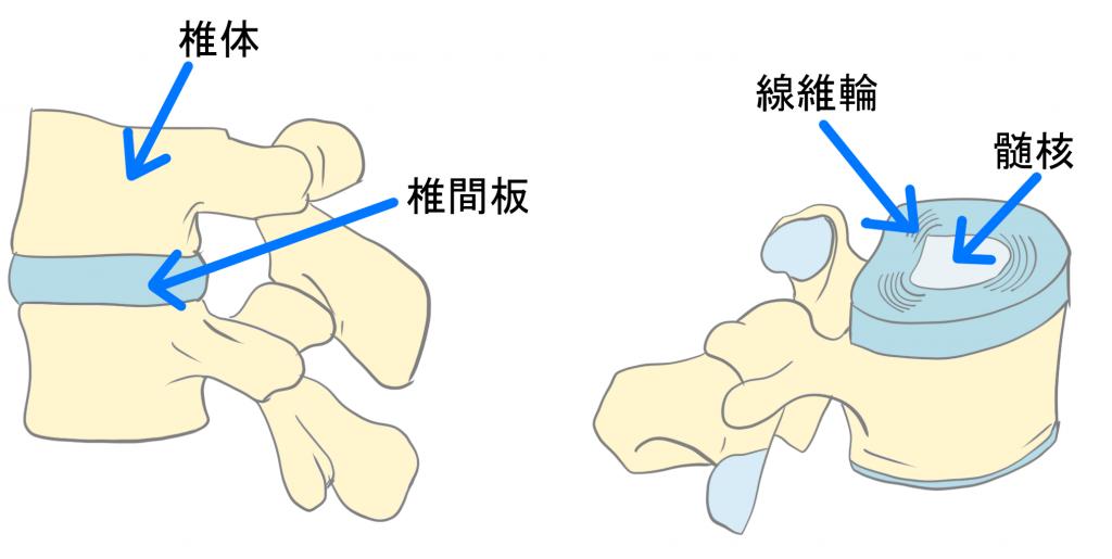 椎間板の解剖