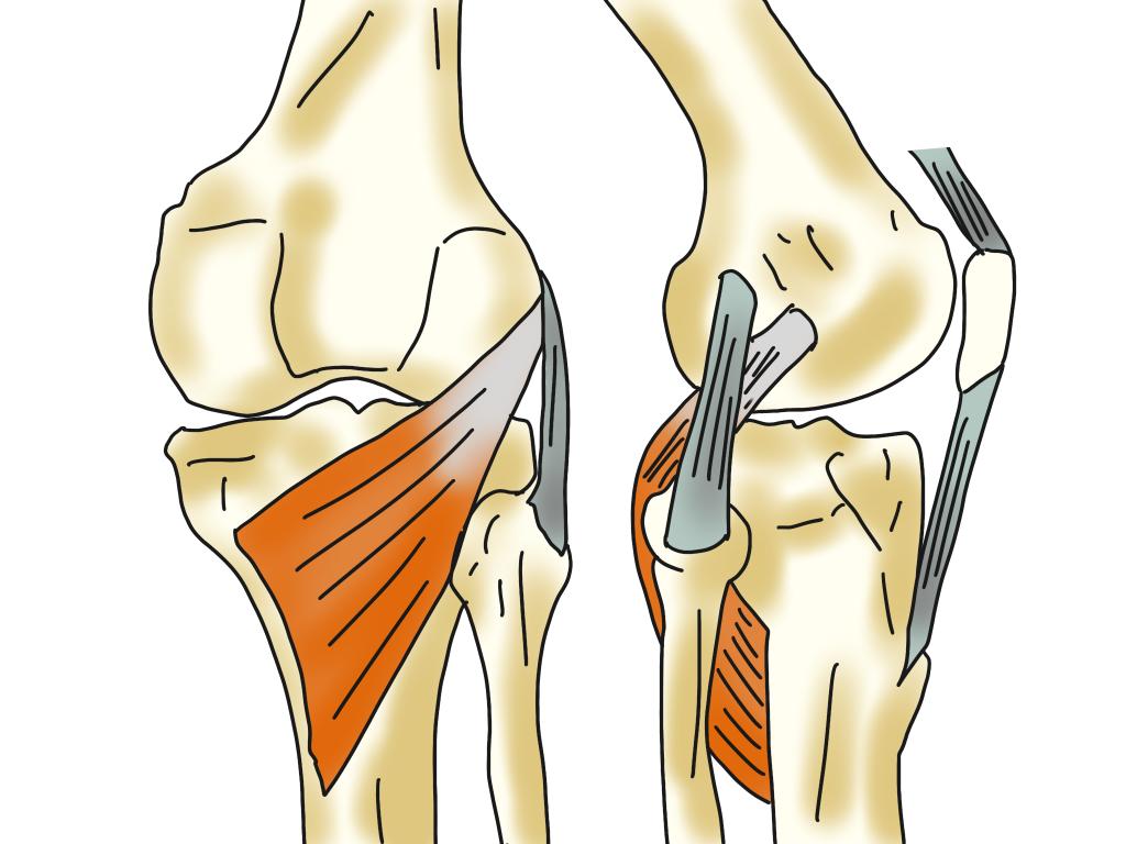 膝窩の構造