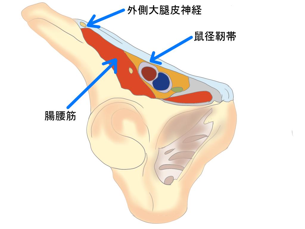 外側大腿皮神経と腸腰筋の関係