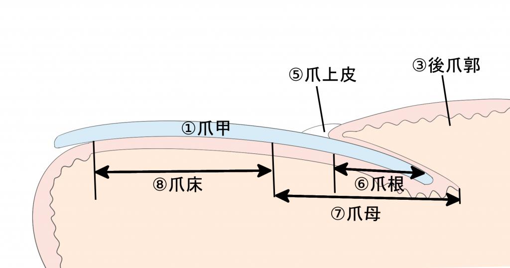 巻き爪治療(爪の構造)
