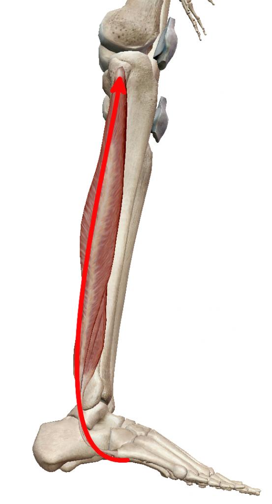 腓骨筋の走行②