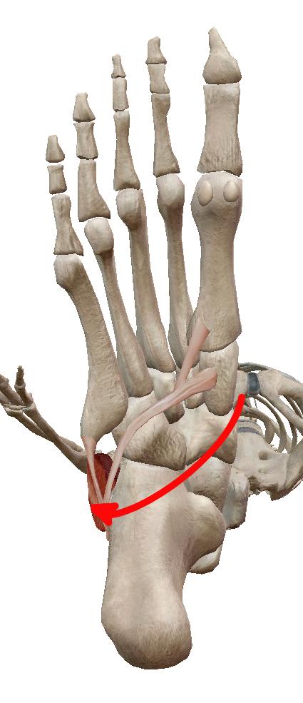腓骨筋の走行①