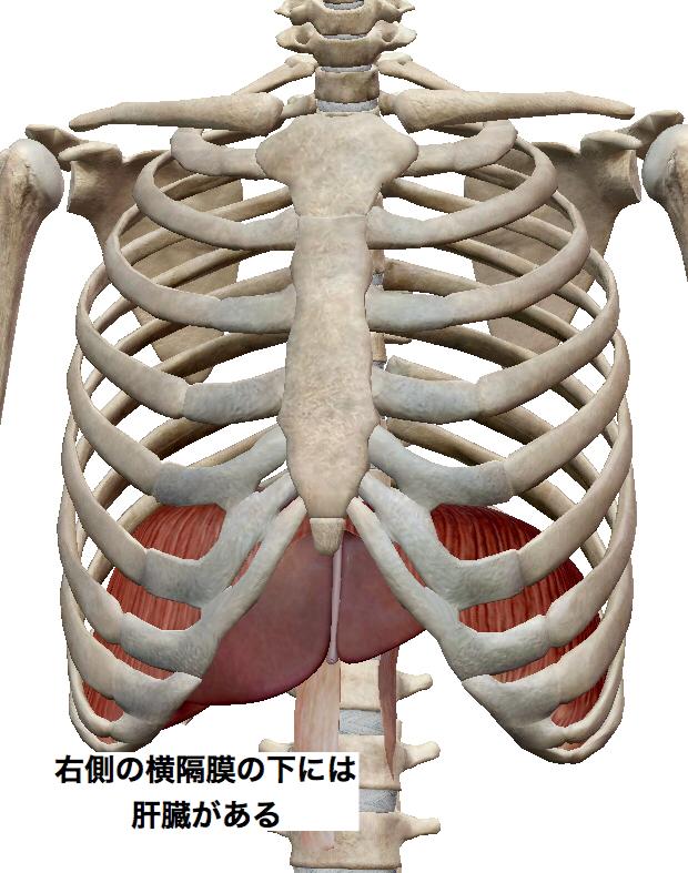 右の横隔膜の下には肝臓がある