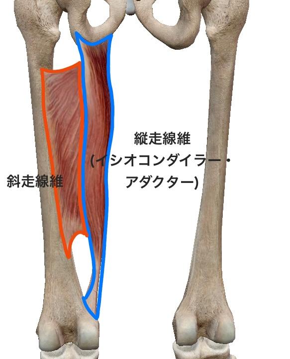 大内転筋の縦走線維と斜走線維