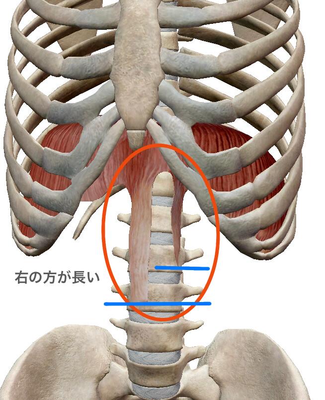 横隔膜の腰椎付着部の左右差