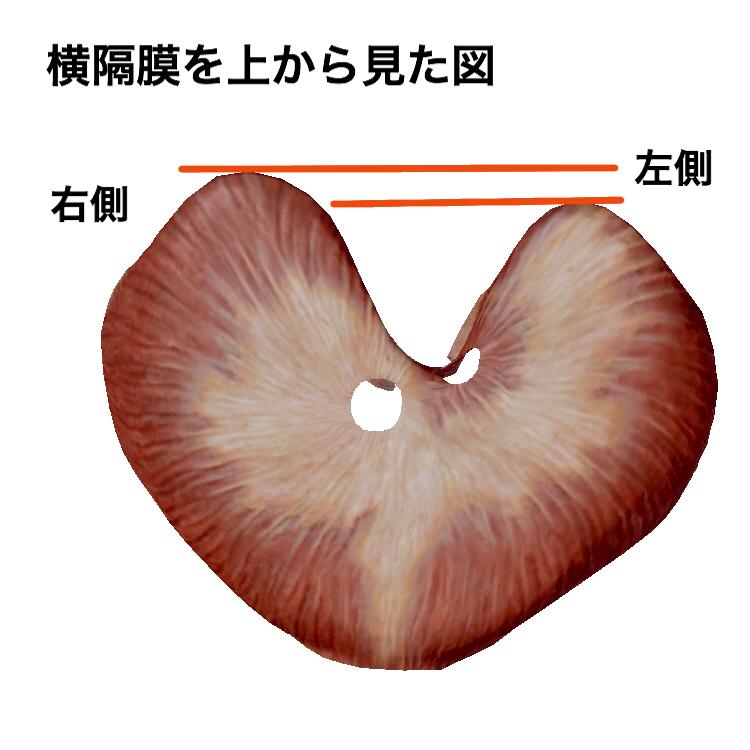 横隔膜は左側より右側が大きい