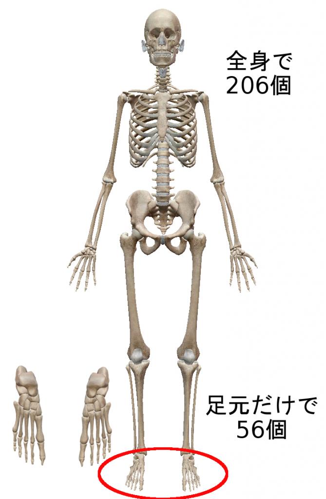 全身の骨は206個足元の骨は56個
