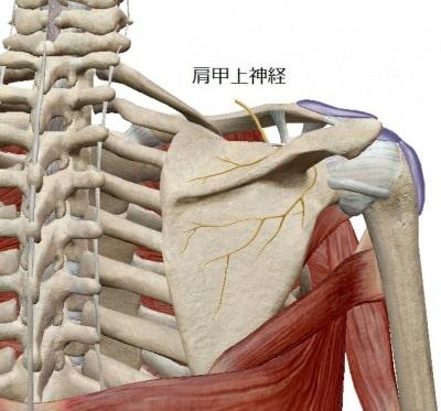 肩甲上神経