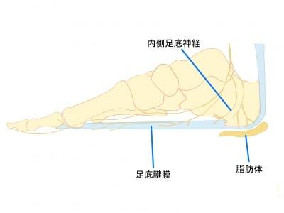 踵骨下脂肪体【金沢市のアルコット接骨院の疾患解説】