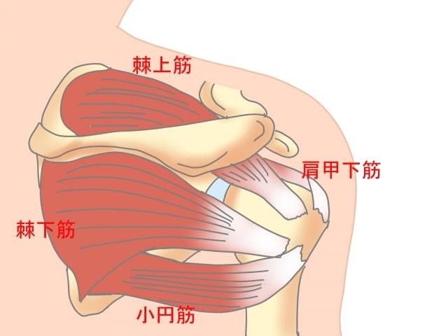 肩腱板の説明