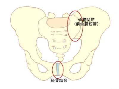 仙腸関節恥骨結合とは