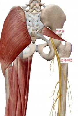 坐骨神経と梨状筋の位置関係