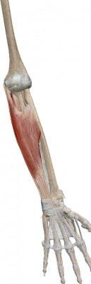 上腕骨内側上顆に付着する筋