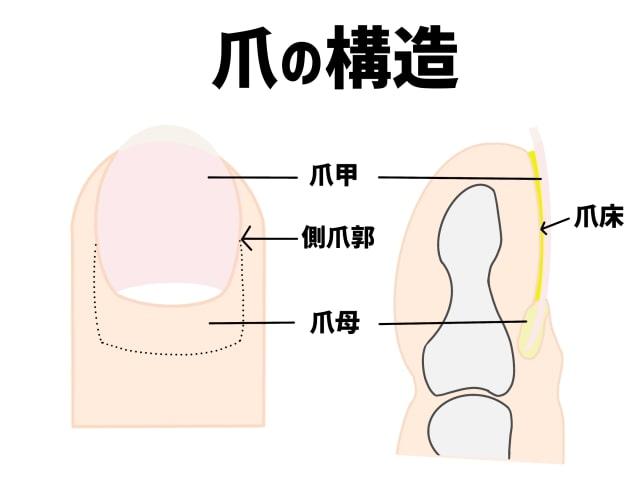爪の構造【金沢巻き爪】